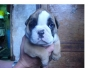 VENDO LINDOS CACHORRITOS BULLDOG