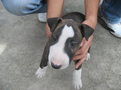 Bull terrier para admirar