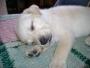 se venden hermosos cachorros de labrador dorado