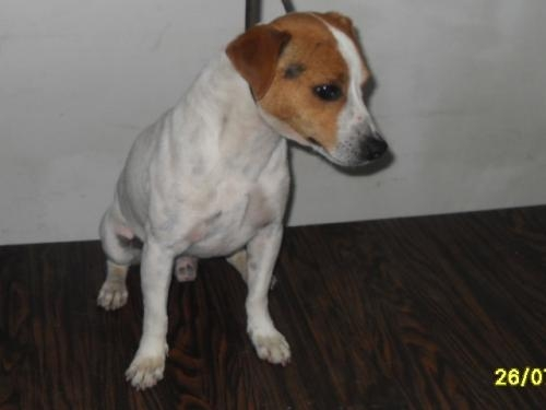 Jack russell busca novia