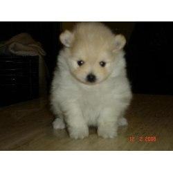 ****lindos cachorros pomenaria**** $350.000,oo