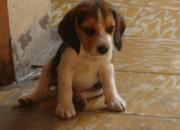 Beagle Cachorros