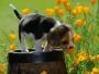 ***Vendo 2 lindos y  hermosos cachorros beagle Tricolor***  $300.000,oo