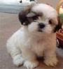 ***Vendo 2 lindos y  hermosos cachorros Shih tzu ***  $450.000,oo
