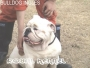 BULLDOG INGLES DE ROYAL KENNEL !18 RAZAS!