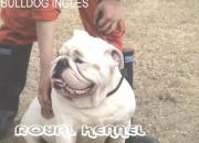 BULLDOG INGLES DE ROYAL KENNEL !18 RAZAS!