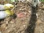 venta de pie de cría de lombriz roja californiana