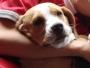 Vendo hermoso cachorro Beagle limon de cuatro meses de edad. Vacunado y desparacitado.