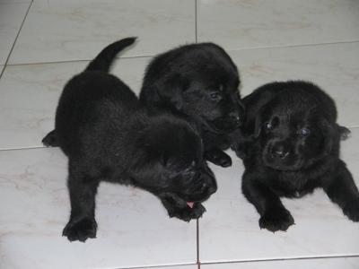 *** pedegree regalo tres hermosas cachorritas labradoras $180.000, oo***
