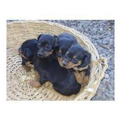****regalo dos (2) lindos cachorros pincher miniatura $250.000.,oo****