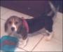 vendo perra beagle