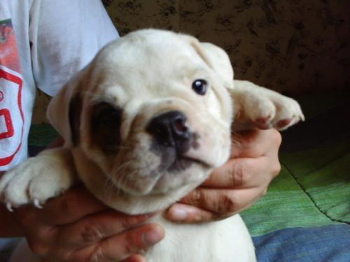Bull dog, hermosos cachorritos bulldog