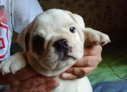 Bull Dog, hermosos cachorritos bulldog