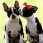 criadero la calandria vende boston terrier de colores