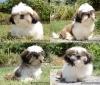 hermosos cachorros shitzu pug y boston