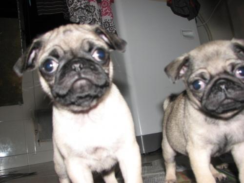 Vendemos lindos cachorros pug