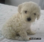 **FRENCH POODLE MINI TOY ENANOS  L.D.S**