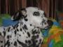 Perro Dalmata, Busca Novia (2 años)
