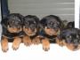 ***Vendo 4 lindos y  hermosos cachorros ROTTWAILER ***  $350.000,oo