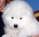 Hermosos cachorros samoyedos l.d.s