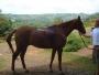 Caballo para Polo & Equitation