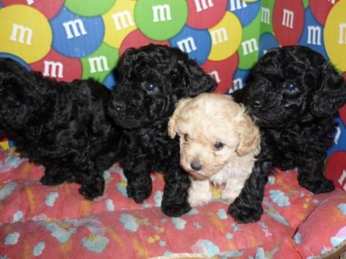Cachorros french poodle mini toy negros l.d.s