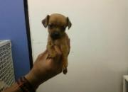 Vendo linda cachorrita pinscher