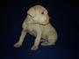 Cachorro American Pitbull Terrier(hembra)
