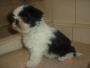 Cachorros Shih-tzu chatisimos criadero Loyalpetscamp.com Westie