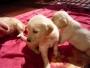 Hermosos Cachorritos Golden Retriever