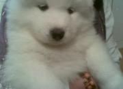 Vendo Cachorros Samoyedo