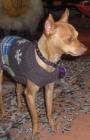 compro perro doverman pincher miniatura dorado pata de venado
