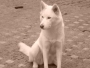 Perra Husky Siberiano, Lobo Siberiano busca novio. Muy Linda