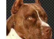 Busco novia para mi american pitbull color chocolate en barranquilla
