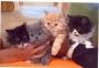 Lindos gatitos persa