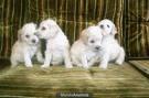 Vendo lindos cachorros french poodle