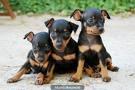 Vendo lindos cachorros pincher