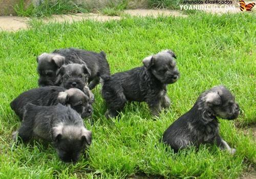 Vendo lindos cachorros schnauzer hembra y macho