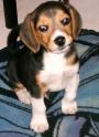 Vendo Beagle de 5 meses, con todas las vacunas, muy jugeton y amoroso;