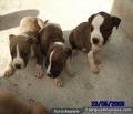 Vendo lindos cachorros pitbull hembra y macho