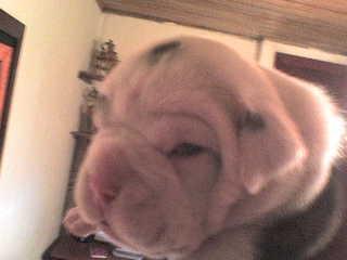 Bulldog del valle