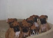Venta de Cachorros BOXER