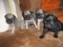 Venta de hermosos cachorros PUG Carlinos