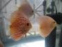 venta de peces ornamentales disco
