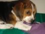 vendo perrita beagle de 2 meses