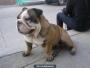 Bulldog machote para monta