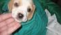 Vendo cachorritos beagle limon  o bicolor economicos
