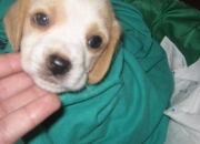 Vendo cachorritos beagle limon  o bicolor economicos