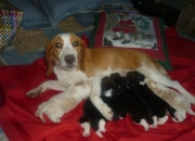 hermosos cachorros beagle