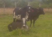 Venta de ganado tipo leche novillas f1 girolandas